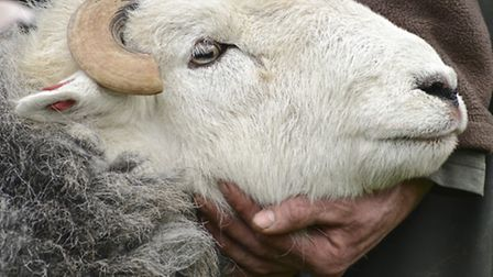 Gently holding a Herdwick tup at the Keswick Spring Fair