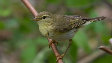 Willow Warbler