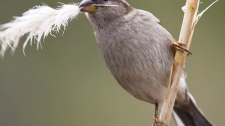 House sparrows love pampas grass for nesting with