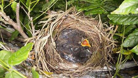 Blackbird nest with young