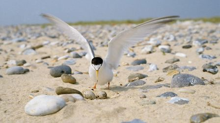 Little tern at nest, wing stretching after incubating.