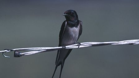 Swallow perched on wire - Kevin Carlson
