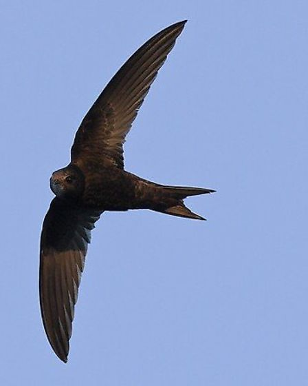 Swift courtesy of www.swift-conservation.org