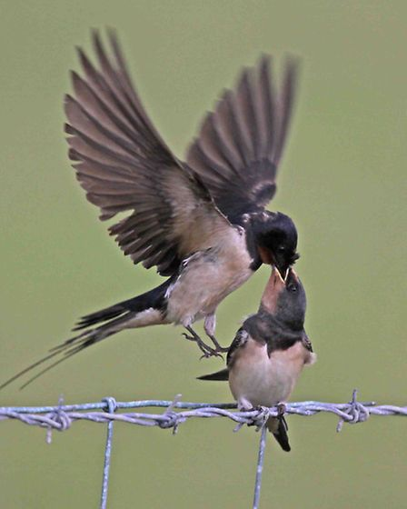 Barn Swallows - parent on wing feeding fledgling on barbed wire. Ken Dolbear MBE