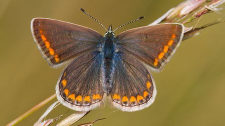 Female Common blue butterflies are brown