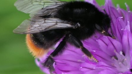 The Tree bumblebee first arrived in Dorset