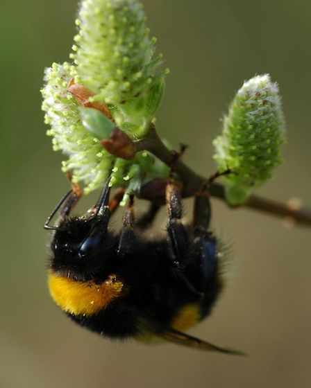 Buff-tailed bumblebee feeding in early spring on pussy willow