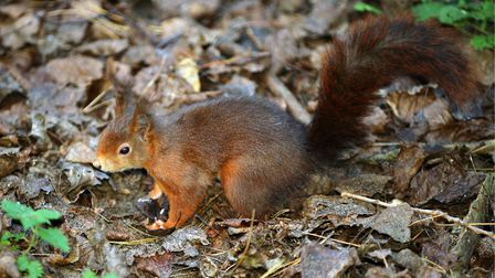 A red squirrel at Formby