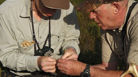 A merlin chirch being ringed (picture: Steve Round)