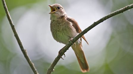 The nightingale is a small migratory bird and is well known for it's powerful song