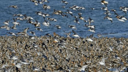 Knot arriving at high tide roost in The Wash, credit David Tipling