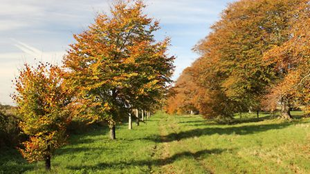 The famous Kingston Lacy Estate beech avenue - new trees on the left, 200 year old trees on the righ