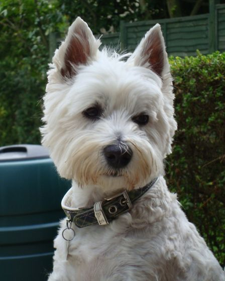 Huwi, the West Highland Terrier