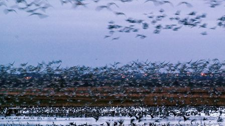 A spectacular display of geese