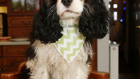 Belle, the Cavalier King Charles Spaniel with a dog birthday cake