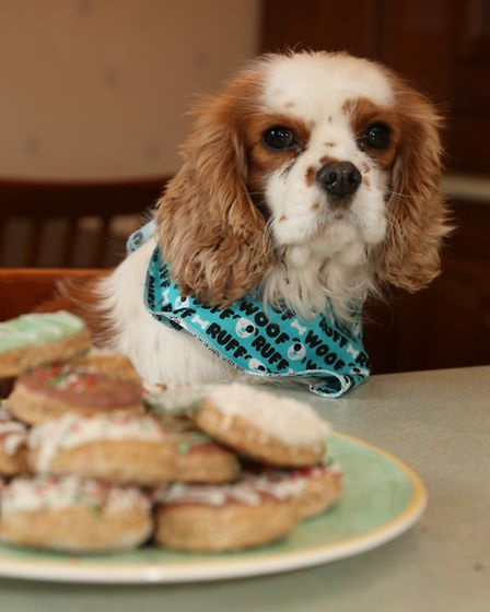 Honey, the Cavalier King Charles Spaniel keeping her eye on some Doggy Doughnuts