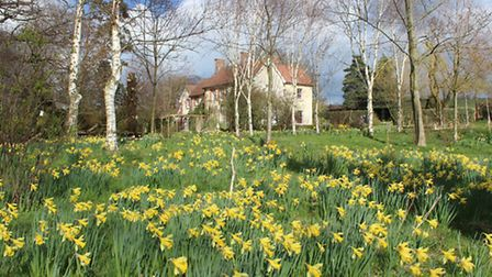 Massed daffodils under stately trees and white-barked birches - Old Vicarage