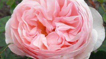 Grow some beautiful roses in your garden