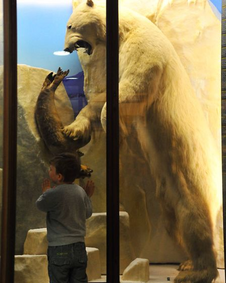 The polar bear in the natural history department at Norwich Castle Museum
