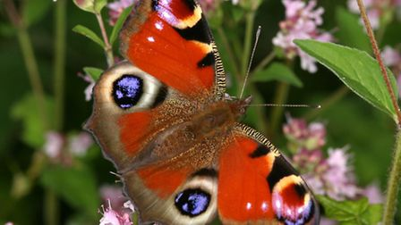 Peacock butterfly - photo by Peter Eeles
