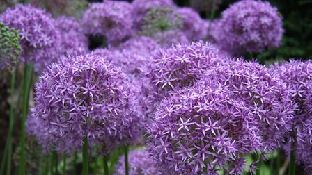 Alliums are often seen at Chelsea