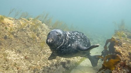 A grey seal - underwater seals are fast and agile © Paul Naylor