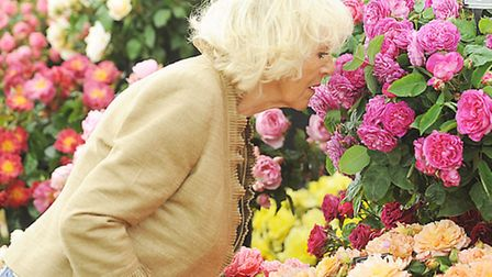 The Duchess of Cornwall enjoys the scent of the roses at the Sandringham Flower Show.