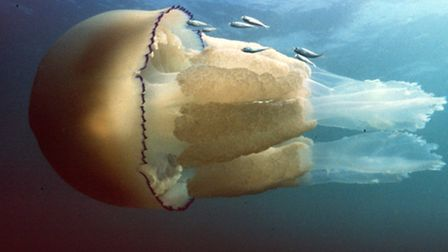 Barrel jellyfish photographed at Worbarrow Bay. Photo by Peter Tinsley