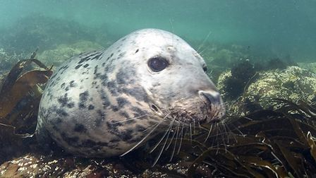 Grey Seal Photo Martha Tressler