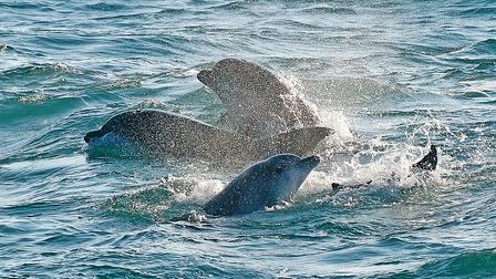 Bottlenose-dolphins-at-St-Ives-b76dc1ad