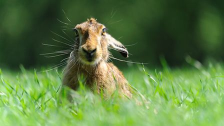 Watchtree brown hare Photo Amy Lewis