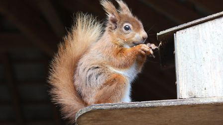 One of the island's resident red squirrels