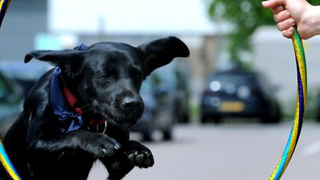 "Brainy Dog ""Hope"" displaying her skills at the headquarters of Headway Suffolk in Ipswich"