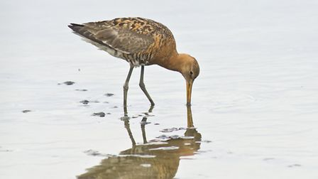A black tailed godwit looking for worms (photo by Monique Vanstone)