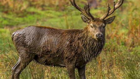 This powerful stag is ready for action