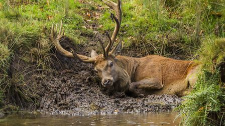 A stag wallowing in mud before the rut is a rarely seen behaviour.