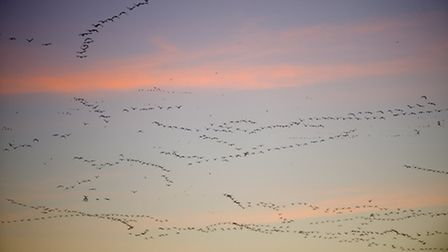 Snaking across the sky, the pink footed geese fly over Snettisham