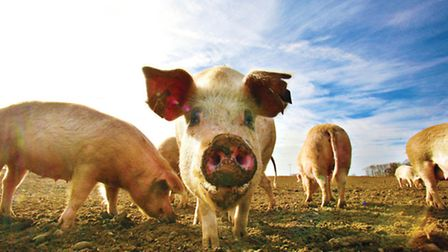 Nosey: Portrait of a local pig or two by Frank Barrett