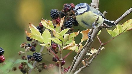 Bird in the bush: Marion Warne captured a shot of this lovely little blue tit in a blackberry bush n