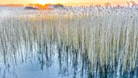 Winter Reeds at Redgrave Fen