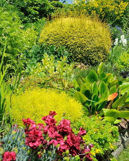 The raised border showing Lonicera nitida Baggeson's Gold, Santolina and Dianthus Eleanor's Old Iris