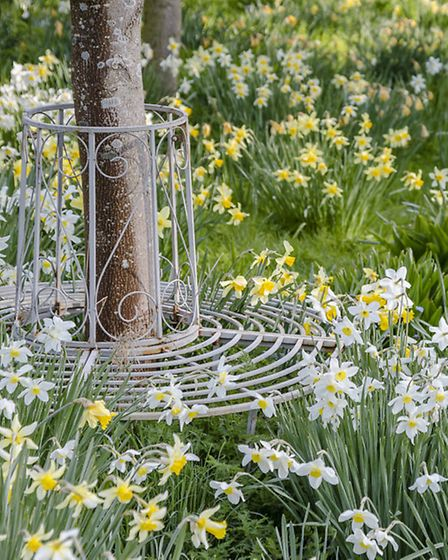 Circular metal seat around young tree, underplanted with various narcissus (daffodils)