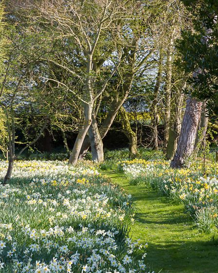 Grass pathway through drifts of daffodils (Narcissus vars)