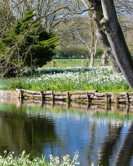 Black swans drift along the 13th century moat, with drifts of daffodils (Narcissus vars) on the far