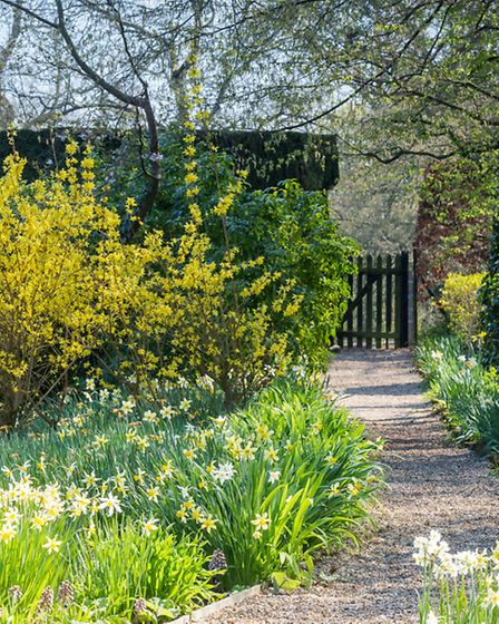 Gravel path leading to wicket gate, flanked by late narcissus and forsythia, in the spring sunshine