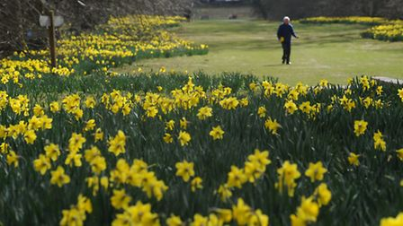 The Daffodils in Nowton Park in flower.