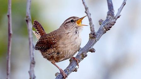Wren perched on small branch singing by Paul Chesterfield