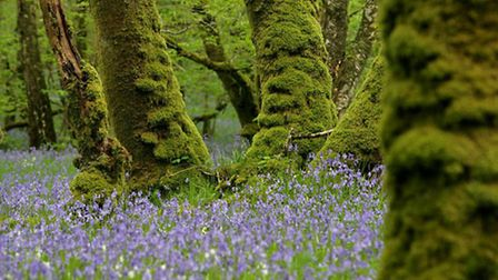 Bluebells in bloom by Andy Hay (all rspb-images.com)