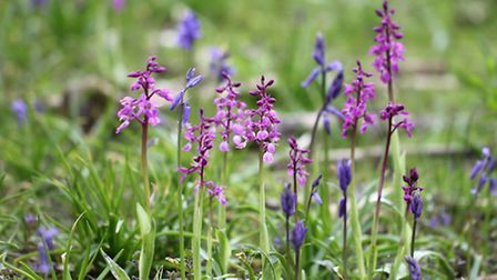 Early Purple Orchid by Jim Higham