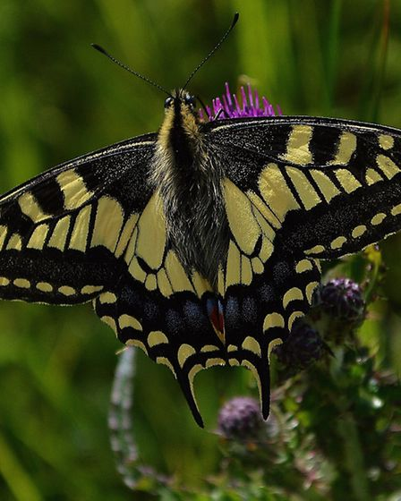 You may be lucky enough to spot the swallowtail butterfly. Picture: Ian Robinson